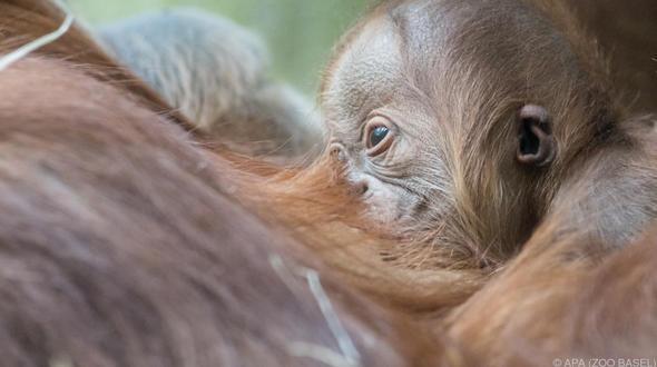Forscher entdecken neue Orang-Utan-Art