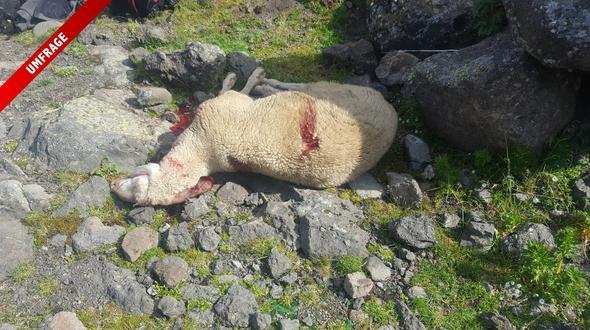 Eines der gerissenen Schafe. - Foto: Birgit Heiss