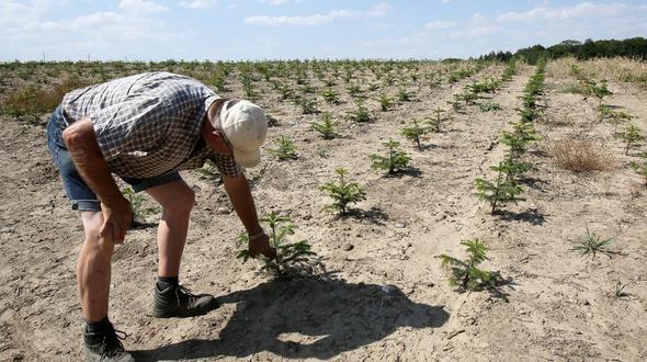 Der Dürre-Sommer setzt den Pflanzen in Norddeutschland mächtig zu. Auch auf den Weihnachtsbaum Plantagen in Schleswig Holstein stöhnt man unter der wochenlangen Trockenheit