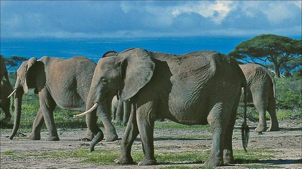 Jäger schießt auf Elefanten und wird selbst zerquetscht