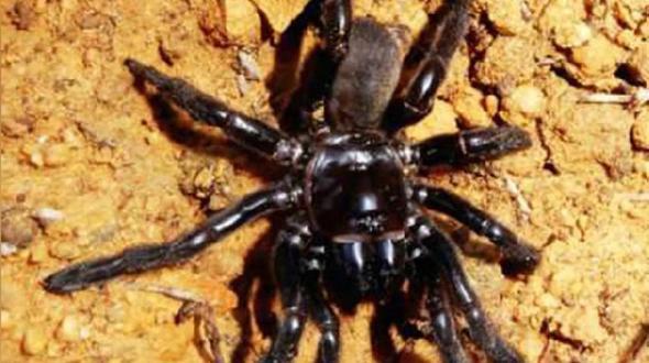 Mit 43 Jahren gestorben Australien trauert um die älteste Spinne der Welt