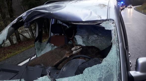 Hirsch durchbricht Windschutzscheibe und landet auf dem Fahrersitz