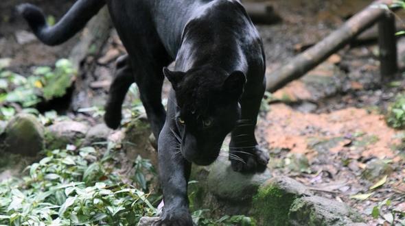 Absperrung für Selfie missachtet: Frau von Jaguar angegriffen