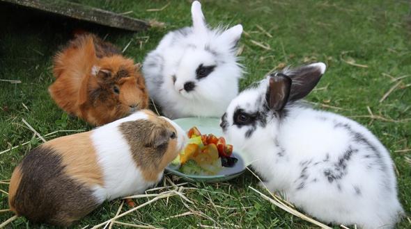 meerschweinchen und kaninchen bei hitze nicht auf balkon lassen. Black Bedroom Furniture Sets. Home Design Ideas
