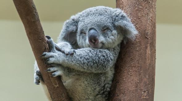 Australien macht Millionen für Koalas locker