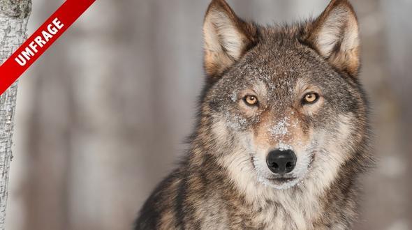 Die Unterschriftenaktion gegen den Wolf wurde gestartet. Unterschreiben auch Sie?