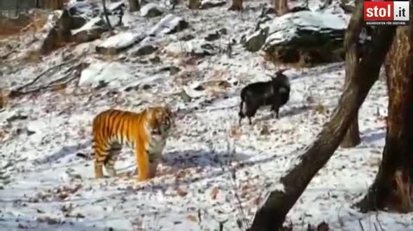 tiger ziege partnerschaft